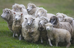 Sheep gathered for shearing in New Zealand. A flock of sheep gathered together for shearing Royalty Free Stock Photos