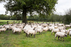 Sheep. Gathered together on a farm under a tree Royalty Free Stock Images