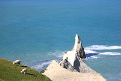 Sheep gazing , lamb gazing in a cliff besides blue ocean. Coopworth sheep and lamb grazing near the cape kidnappers gannet colony cliff overseeing blue ocean stock photography