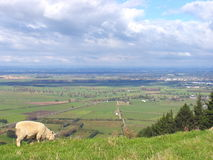 Sheep And Glassland Stock Images