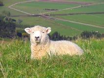 Sheep And Glassland Stock Photo