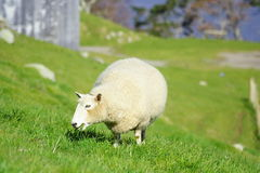 Sheep And Glassland Royalty Free Stock Photography