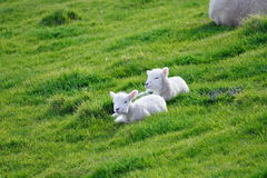 Sheep And Glassland stock photos