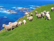 Sheep And Glassland royalty free stock images