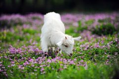 sheep in glassland Royalty Free Stock Photos