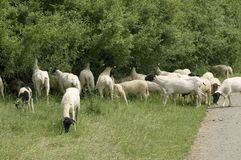 Sheep gnawing roadside bushes. Stock Photo