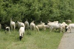 Sheep gnawing roadside bushes. Stock Photo