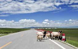 Sheep go across the road. Smart sheep go across the road under beatiful clouds and blue sky Stock Images