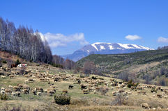 Sheep go on the mountain pasture. Royalty Free Stock Images
