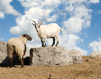 Sheep and goat Stock Photography
