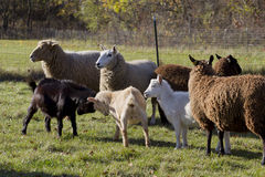 Sheep & Goat. A flock of sheep and goat are in the farm Stock Photo