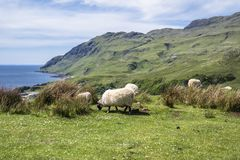 Sheep and goat at the bay called Camas nan Geall, Ardnamurchan. Scotland Royalty Free Stock Images