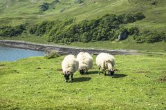 Sheep and goat at the bay called Camas nan Geall, Ardnamurchan royalty free stock photography