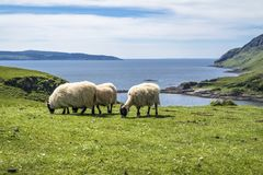Sheep and goat at the bay called Camas nan Geall, Ardnamurchan. Scotland Royalty Free Stock Photography