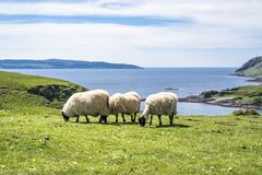 Sheep and goat at the bay called Camas nan Geall, Ardnamurchan. Scotland Stock Photos