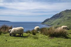 Sheep and goat at the bay called Camas nan Geall, Ardnamurchan. Scotland Royalty Free Stock Image