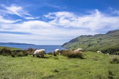 Sheep and goat at the bay called Camas nan Geall, Ardnamurchan Royalty Free Stock Photos
