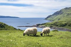 Sheep and goat at the bay called Camas nan Geall, Ardnamurchan stock photography