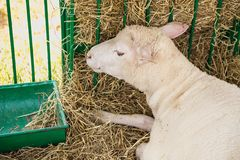 Sheep or goat in cell on farm Royalty Free Stock Image