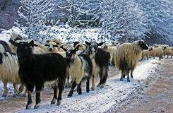 Sheep and goat flock going down the mountain in winter Stock Photo