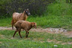 Sheep and goat on meadow Stock Photo