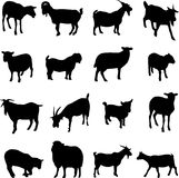 Sheep and goats Stock Images
