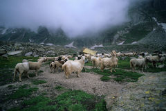 Sheep and goats Stock Photography
