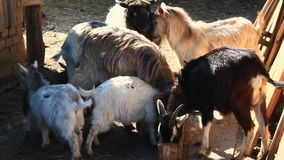 Sheep and goats eat in the courtyard stock video footage