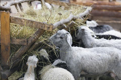 Sheep and goats eat hay. Domestic animals sheep and goats eat hay royalty free stock photo