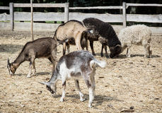 Sheep and goats Stock Image