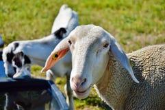 Sheep, Goats, Goat, Cow Goat Family Royalty Free Stock Photos
