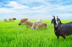 Sheep and goats graze Stock Images