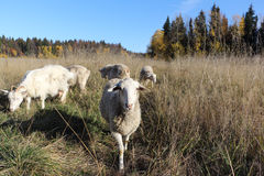 The sheep and goats are grazed on a meadow. In the fall Royalty Free Stock Photo