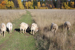 The sheep and goats are grazed on a meadow. In the fall Stock Photography