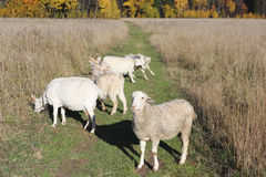 The sheep and goats are grazed on a meadow. In the fall Royalty Free Stock Photos