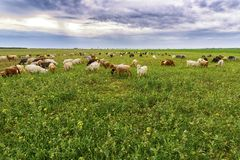 Sheep and goats grazed Royalty Free Stock Photos