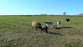 Sheep and goats grazing on the grass stock video