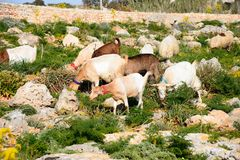 Sheep and goats grazing, Malta. Sheep and goats grazing on scrubland by Dingli Aviation radar station, Dingli, Malta, Europe Stock Images