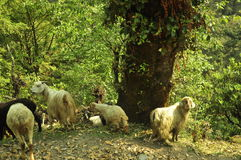 Sheep and goats. Left for grazing in a hilly area royalty free stock photo