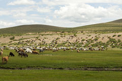 Sheep and Goats in Mongolia. Sheep and goats graze on the steppes in central Mongolia Royalty Free Stock Photo