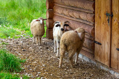 Sheep and goats under wooden hut in Tatra mountains Stock Photography