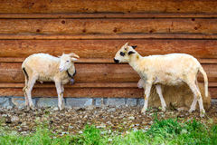 Sheep and goats under wooden hut in Tatra mountains Royalty Free Stock Photos