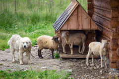 Sheep and goats under wooden hut in Tatra mountains Stock Images