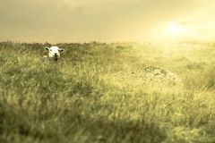 Sheep in a golden suset paddock stock image