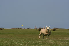 Sheep on a golf links. A sheep defends a golf hole on the links stock images