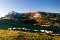 Sheep in Gorbea mountain. Flock of sheep in Gorbea mountain stock photo