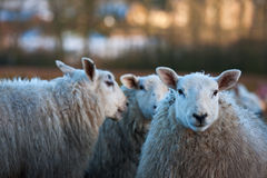 Sheep gossiping behind another's back Stock Photography