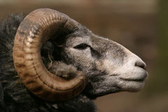 Sheep, Gotland sheep - ram Stock Photo