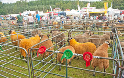 Sheep at Granton on Spey Show. Winning sheep in pens at Grantown on Spey Agricultural Show held on 8th August 2013 Royalty Free Stock Photos