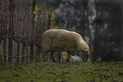 Sheep in Grapes Stock Photography